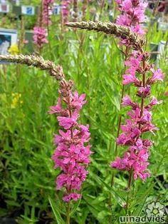 Lythrum salicaria 'Morden Pink' - Kattenstaart met foto's en info over hoe stekken, zaaien, vermeerderen, wanneer bemesten.