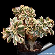 """Aeonium """"SUNBURST"""" forma cristata - a branching succulent which produces nice crested stems and seems to to change in and out of its crested mode during the years. The fasciated rosettes have grey-green and cream white leaves edged in bright, pink-red that stand up on stalks to 30 cm, Width: 30-40 cm."""