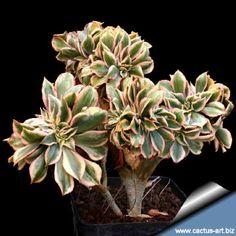 Aeonium decorum cv. 'Sunburst' forma 'Cristata'