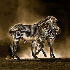 Two zebras pictured in the dust in Cabarceno, Cantabria, Spain