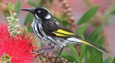 The New Holland honeyeater (Phylidonyris novaehollandiae) is a honeyeater species found throughout southern Australia. It was among the first birds to be scientifically described in Australia, and was initially named Certhia novaehollandiae (Latham 1781, 1790)