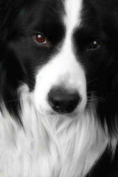 Border Collie/国境で生まれた優秀な牧羊犬! Dog Safety 倶楽部