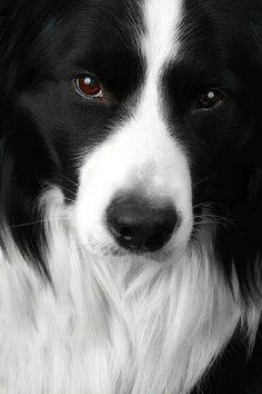 Border Collie (Black  White)