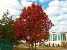 Quercus shumardii / Quercus shumardii - OnlinePlantGuide.com 6702