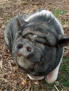 this is why i don't like to eat pork products - ooooh piggy i love you so!!
