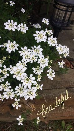 ~ lil white flowers ~