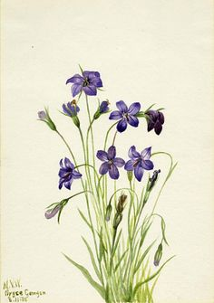 Bellflower (Campanula),1935, Mary Vaux Walcott, watercolor on paper, 9 7/8 x 7 in. (25.2 x 17.7 cm), Smithsonian American Art Museum, Gift of the artist, 1970.355.306