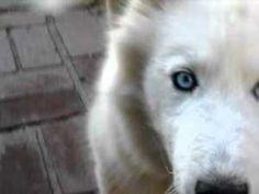 18++ Anjing golden mix samoyed terupdate