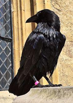Ravenmaster on Twitter - so beautiful!