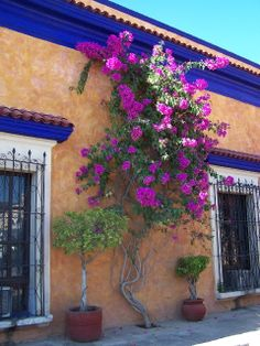 Bougainvillea-these colors are inspiring. For the entry garden wall
