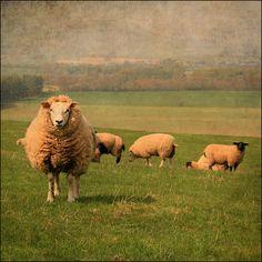 gorgeous sheep #TERRAINsignsofspring