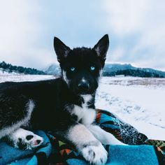 Things we all respect about the Bold Siberian Husky Puppies - Dogs - Agouti Husky, Siberian Husky Puppies, Husky Puppy, Siberian Huskies, Huskies Puppies, Pretty Animals, Cute Funny Animals, Cute Baby Animals, Cute Dogs And Puppies