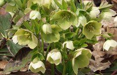 Rok s bylinami - duben - pozor na léčivé, ale jedovaté rostliny - nejvíc-info Shadow Plants, Stark, Wedding, Photos, Compost, Botany, Croatia, Pictures, Shade Plants