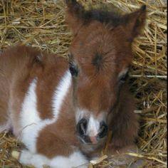 Baby Shetland Pony