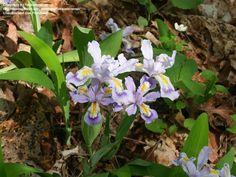 Dwarf Crested Iris (Iris cristata).