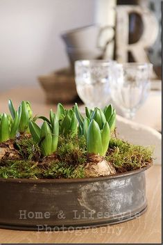 Hyacinth bulbs and moss in a spring cake tin from ...
