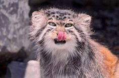 This beautiful specimen is a Manul, otherwise known as Pallas's Cat.  About twelve million years ago it was one of the first two modern cats to evolve and it hasn't changed since. The other species, Martelli's Cat, is extinct so what you are looking at here is a unique window in to the past of modern cats.