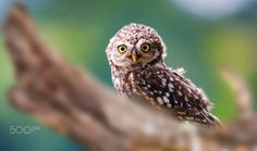 """Who's there?! - A wild Little Owl spotted in the countryside in Apulia, southern Italy.  As soon as it saw me it got scared and flew away, giving me that funny expression.  """"Be in the right place at the right time"""" IF YOU LIKE MY PHOTO PLEASE COMMENT AND TELL ME WHAT DO YOU THINK ABOUT!!!"""