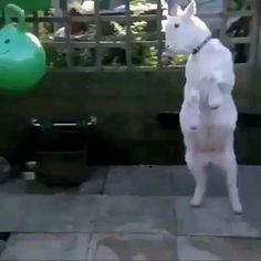 Cute Animal Videos, Funny Animal Pictures, Cute Little Animals, Cute Funny Animals, Cute Goats, Baby Goats, Cute Creatures, Animal Memes, Animals Beautiful