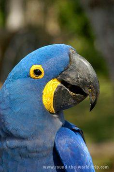 Arara Azul - Pantanal