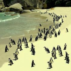 Spend a day at the beach with a few new friends at the Boulders Penguin Simon's Town Beach, South Africa