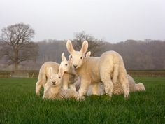 Border Leicesters ...love those ears :)
