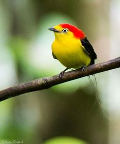 Wire-tailed manakins are found upriver in the W Amazon Basin and the neighboring countries of N Peru, E Ecuador and Colombia, and S and W portions of Venezuela. (Owen Deutsch / owendeutsch.com)