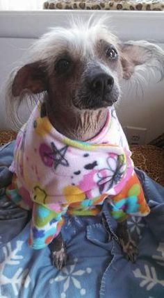 Available Chinese Crested rescue dogs