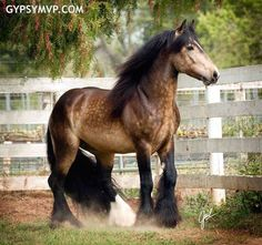 Gypsy Vanner Horses For Sale Stallion Sooty Buckskin Duke Most Beautiful Animals, Beautiful Horses, Beautiful Creatures, All About Horses, Horses For Sale, The Animals, Gypsy Horse, Gypsy Vanner Horses, Majestic Horse