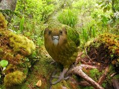 This is the world's fattest, flightless parrot. They're found in New Zealand but numbers are in critical condition due to the colonization of their island which brought cats and stoats along. Only about 128 of these birds remain on predator-free islands.
