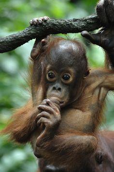A baby orangutan takes thumb-sucking to a new level thanks to prehensile feet. Primates, Mammals, Cute Baby Animals, Animals And Pets, Baby Orangutan, Sumatran Orangutan, Cute Monkey, Wale, Baboon
