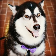 Dubs shows his Husky pride wearing Purple and Gold