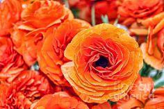 Carlsbad Flower Fields, Carlsbad, California