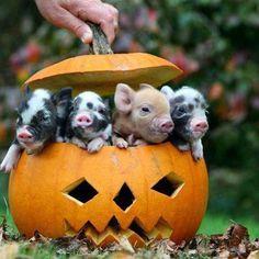 farm, little pigs, mini pigs, pumpkin, teacup pigs, baby pigs, halloween pictures, piglet, happy halloween