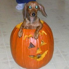 jack o lantern going as a dachshund for Halloween