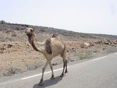 Djibouti - camel