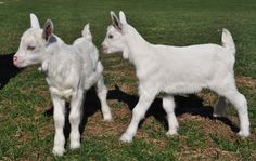 Saanen baby goats | He is still a little stained because he had pooed in his sack at birth ...