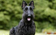 http://chepkadog.com/uploads/photo/full/356-hintergrunde-der-scottish-terrier.jpg