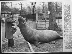 Moby Dick, the elephant seal at the St. Louis Zoo. Dad used to take me to watch him being fed.