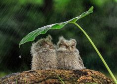 "Two Owlets: ""Sheltering From The Storm."" (In Indonesia.)"