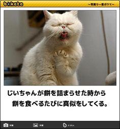 じいちゃんが餅を詰まらせた時から 餅を食べるたびに真似をしてくる。 Cute Cats And Dogs, Animals And Pets, Funny Animals, Cute Animals, Japanese Funny, Cat Quotes, Funny Moments, Funny Cute, Cute Pictures