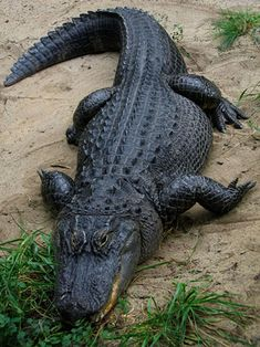 ALLIGATOR -  Coloration: Blackish/grey;  Snout: Wider U-shaped snout; Aggressiveness: Less aggressive; Prefer Water: Freshwater; Lingual Salt Glands: non-functioning; Habitat: Southern U.S. and China; Length of adult: 4.3 meters;  Nesting: lay eggs in mounds of vegetation surrounding freshwater; Presence of dermal pressure receptors:limited to jaws;  Teeth of the lower jaw: hidden(cannot be seen when jaw is closed).