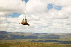 Endangered rhino gets airlifted out of poaching-prone area. What a sight!