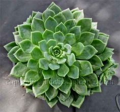 Echeveria 'Blue Wren' -  A beautiful blue-green echeveria to 15cm in diameter forming tight rosettes that hug the ground. Offsets freely. Sun/part sun.