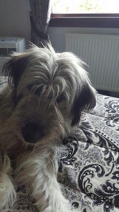 Yogi the mioritic sheepdog