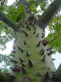 "Ceiba tree. Commenter added: ""Common name is Kapok, native to Mexico, Central America and the Caribbean, northern South America, and to tropical west Africa"""