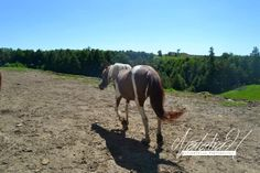 Horses Description: Molly (Mare) Location: Borrowing Freedom Stable Owner: Tracie Lytle Date: June 22th 2014 https://brckwy.wix.com/borrowing-freedom  ©Natalia Herrold - NataliasEquestrianPhotography 205 Elizabeth St. Osceola Mills PA 16666 NataliasEquestrainPhotography@gmail.com