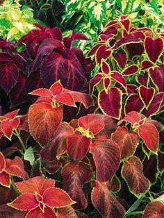 Los coleos son muy bonitos y fáciles de cultivar y hay gran variedad. (Se pueden poner en agua para que les salgan raíces).