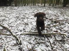 #snowday #puppylove #puppyinsnow #dogsatwork #doghappy #snowfun #snow #labrador #labradorpuppy