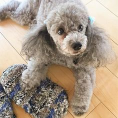 The traits we enjoy about the Very Smart Poodle Pup Cute Puppies, Cute Dogs, Dogs And Puppies, Poodle Puppies, Doggies, Toy Dogs, Dogs 101, Small Poodle, Poodle Cuts